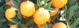 天然橘子柏油去除劑